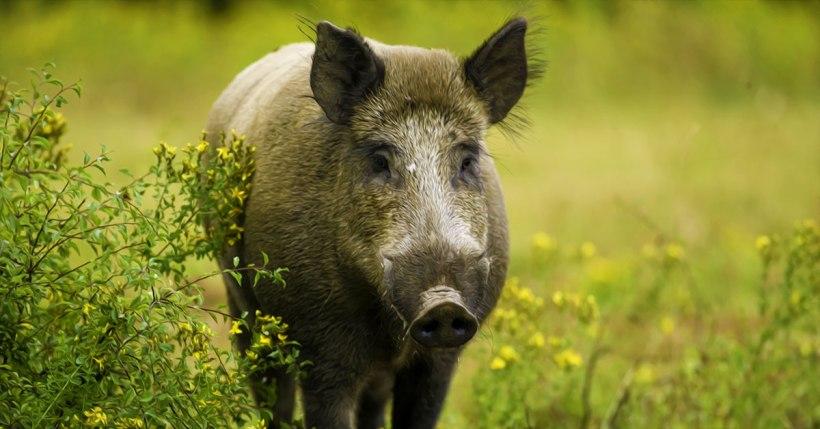 Pig 5